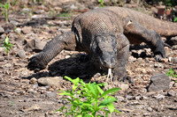 Komodo Dragons of Bali